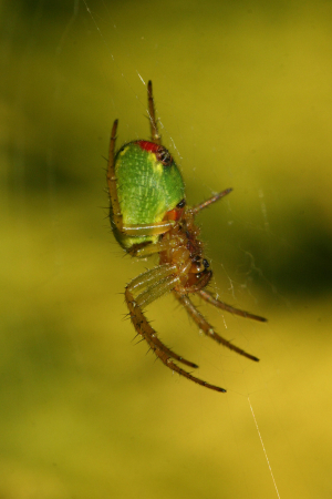 Green Orb Weaver Spider