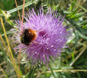 Red-tailed Bumblebee?