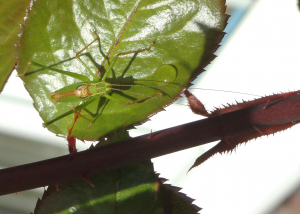Speckled Bush Cricket ?