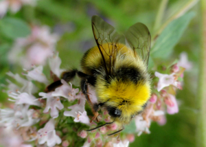 Yellow Bumblebee