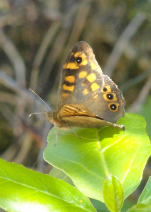 Speckled Wood - southern subspecies