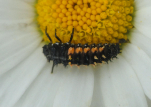 Harlequin on Ox-eye Daisy