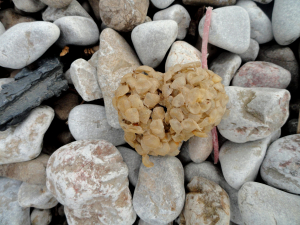 Whelk Egg Casing