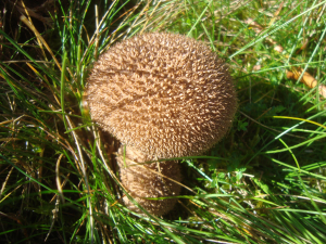 Spiny Puffball?
