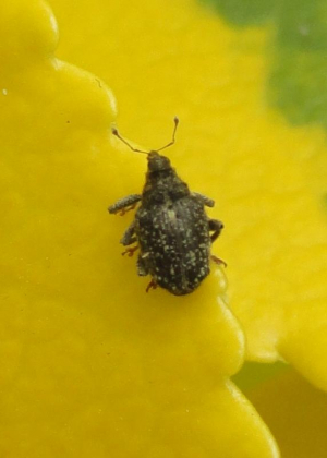 Cabbage Stem Weevil? (Late April observation)