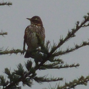 songthrush on top of conifer