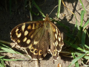 Medium sized brown butterfly