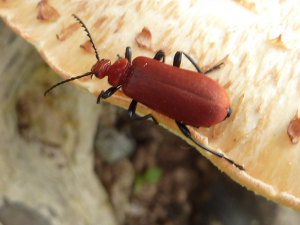 Unidentified soldier beetle