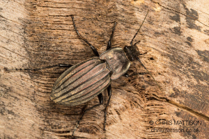 Bronze coloured beetle