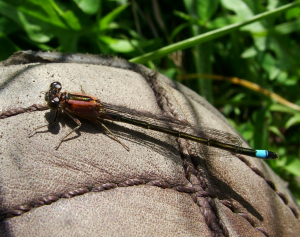 Blue-tailed damselfly juv female pink colour form