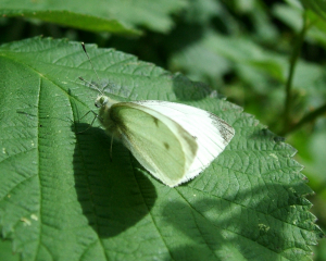 Small white (LWC 17June12)