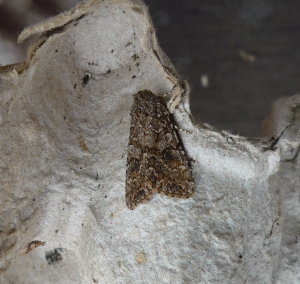 Moth dark brocade?