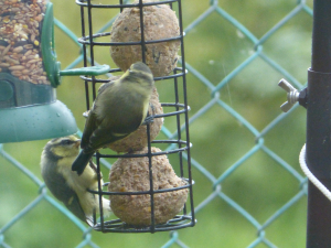 Young bluetits