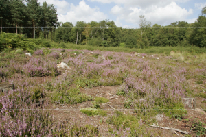 Lowland heath with bracken and tree invasion but attempted recreation with habitat management. Calluna vulgaris