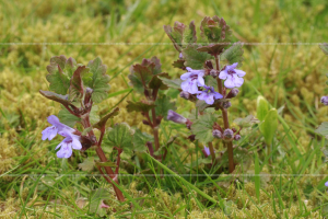 Glechoma hederacea Ground Ivy