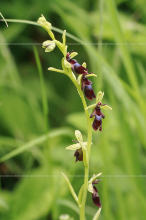 Ophrys insectifera Fly Orchid