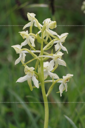 Platanthera chlorantha Greater Butterfly Orchid