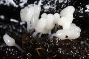 another slime mould