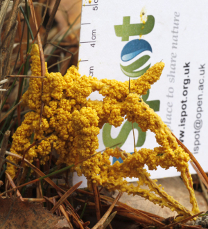 yellow slime mould