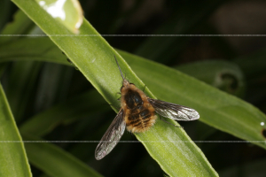 Bombylius major Bee-fly