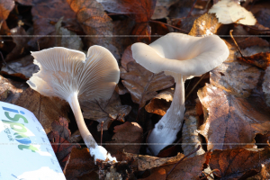 _MG_3654 clitocybe