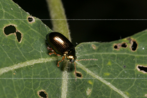 Chrysolina banksi (check)