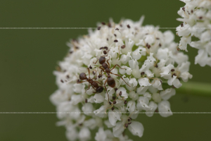Ant on Oenanthe crocata Hemlock Water-dropwort