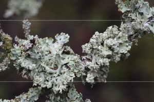 _MG_3871 Hypogymnia physodes?