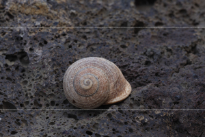 Snail of similar size to common garden snail Helix aspersa(or whatever latin  name it has these days)