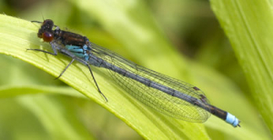 red eyed damselfly