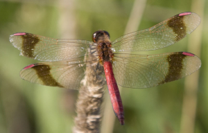 Sympetrum? dragonfly