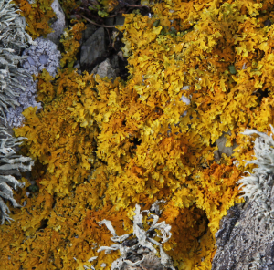 Xanthoria without jam tarts?