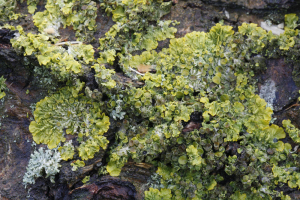 lichens and mosses on trees round meadow4