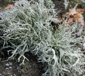 lichens and mosses on trees round meadow8