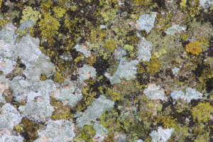 Greenish Lecanora??