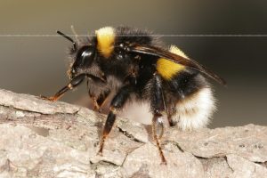 Bombus Bumble bee
