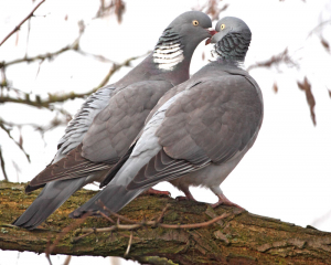 wood pigeons 'kissing'