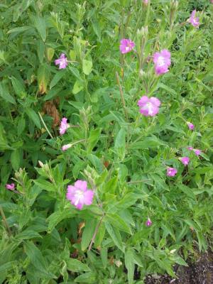 great willowhherb
