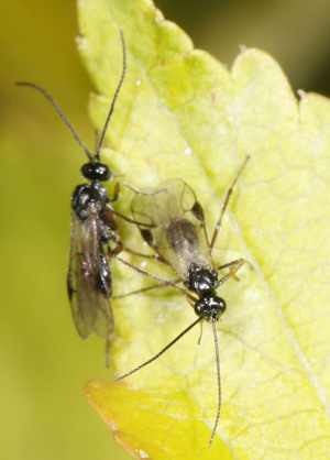 small parasitic wasps?