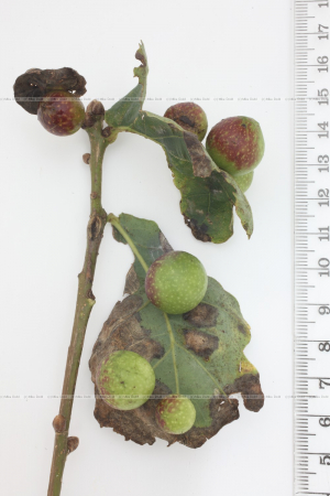 Cynips quercusfolii Cherry galls