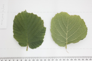 Corylus avellana Common Hazel
