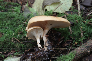 Clitocybe gibba Common Funnel