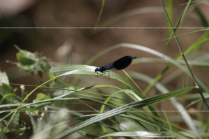 _MG_6709 damselfly