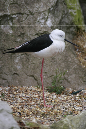 Himantopus himantopus Black-winged Stilt