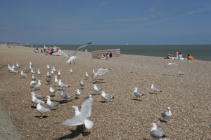 miked - Herring gulls - 5 August 2006 - 12:30pm
