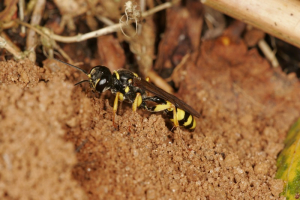 miked - digger wasp - 28th August 2005