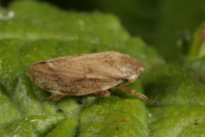 miked - froghopper - 24th July 2005