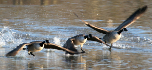 miked - canada geese - 11th February 2009