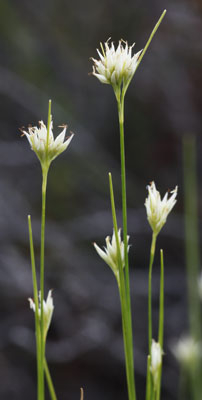 White Beak-sedge