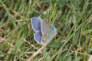 Polyommatus icarus Common Blue